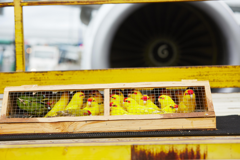 Birds travelling as air cargo